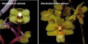 Anggrek Dendrobium Dianae dan Dendrobium Wanua Asli Kalimantan
