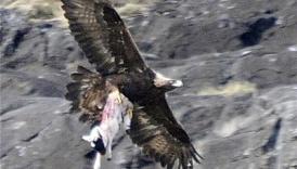 Elang Membawa Kambing Terbang
