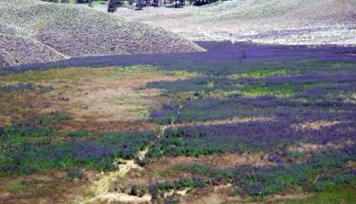 Hamparan Verbena brasiliensis di Pos Oro-Oro Ombo Gunung Semeru