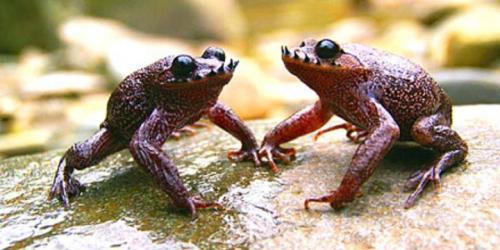 spesies katak berkumis